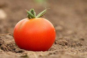 Tomato on ground. The group used tomatoes to test for pesticide.